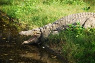 A motionless Indian Marsh Crocodile sunning itself