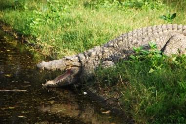 A motionless Indian Marsh Crocodile sunning itself