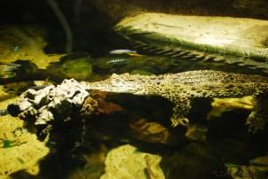 Spice the Cuban Crocodile