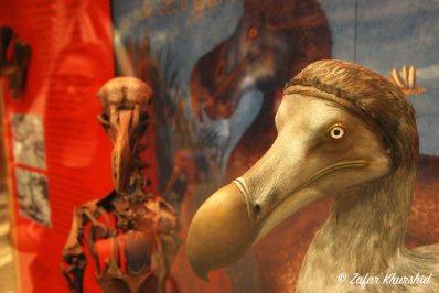 The famous Oxford Dodo