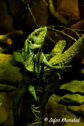 Does this Frilled Lizard remind anyone of an iconic movie scene?