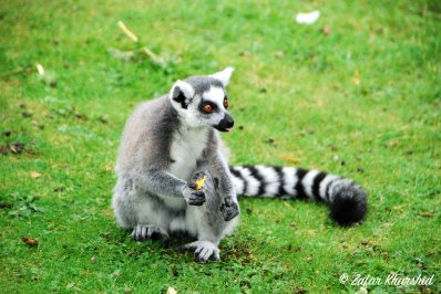 A Cheeky Ring-Tailed Lemur