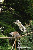 A Ring-Tailed Lemur mid-jump
