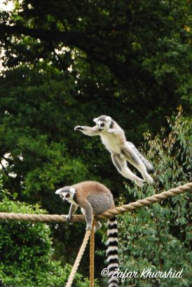 A Ring-Tailed Lemur mid-jump