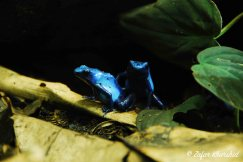 A pair of vibrant blue Dart Frogs