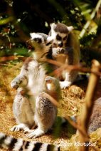 If you don't see a Ring-Tailed Lemur performing Hamlet, you're mad!