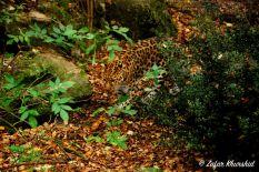 "An Amur Leopard blending seamlessly into the ""jungle floor"""