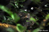 A shy, aloof Pallas Cat