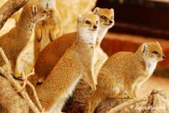 A Family of Desert Mongoose