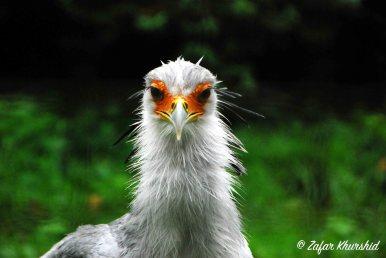 A Stern Looking Secretary Bird