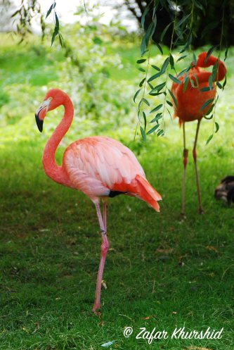 A rather stern looking Pink Flamingo.