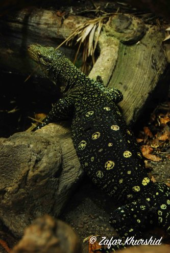 An interestingly spotted Salvador's Monitor lizard