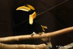 The Great Indian Hornbill