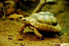 A speedy little Egyptian Tortoise