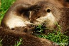 A pair of Oriental Small Clawed Otters... kissing?