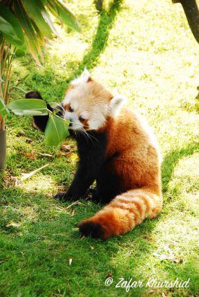 A Red Panda munching on some bamboo