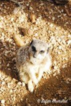 An inquisitive looking Meerkat
