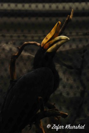 A magnificent (and huge) Great Hornbill, shot through its mesh enclosure