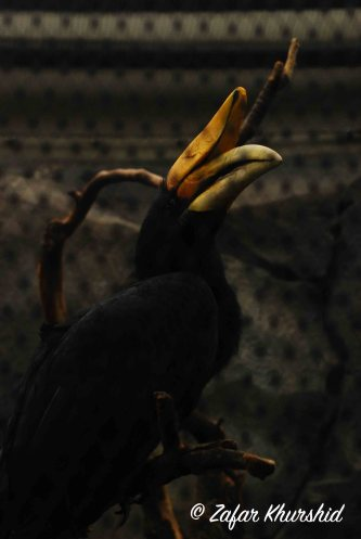 A magnificent (and huge) Great Hornbill, shot through its mesh enclosure