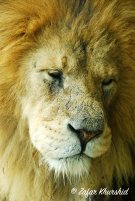 A sleepy Lion wakes from his 21 hour nap...