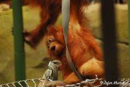 A young Great Sumatran Orangutan