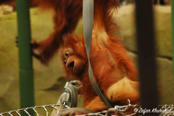 A young Great Sumatran Orangutan