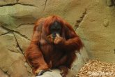 Looks like Human aren't the only ones with dirty habits, as this Great Sumatran Orangutan shows!