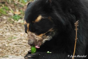A hungry Andean aka Spectacled Bear noshing down on some yummy cucumbers