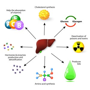 The many functions of the liver.