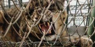 Peshawar zoo loses its snow leopard