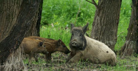 Danube Delta wildlife watching wild boar