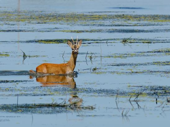 Danube Delta wildlife watching row deer