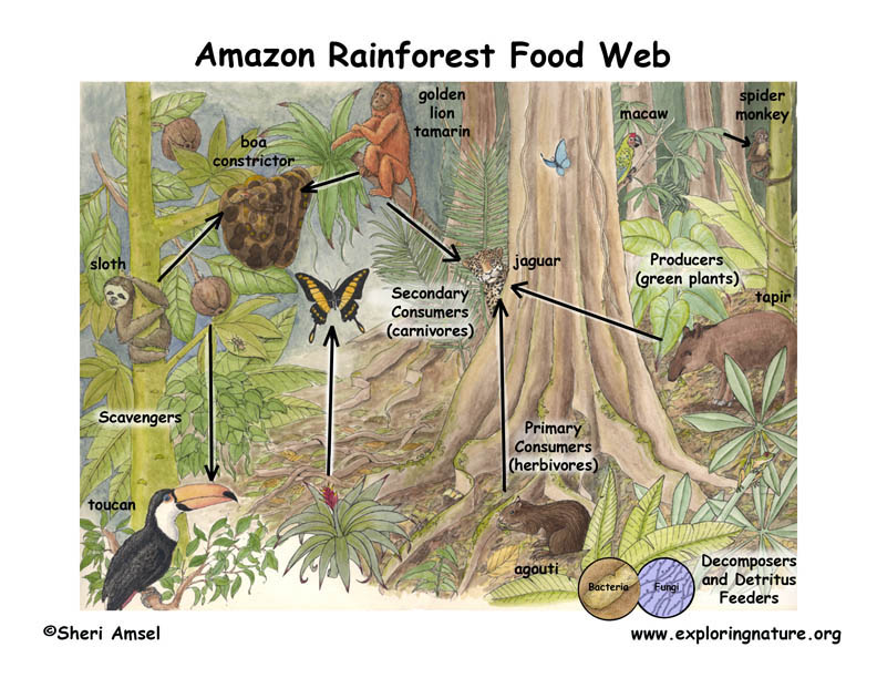temperate forest food web diagram 7 way bargman plug wiring - tropical rainforest el yunque