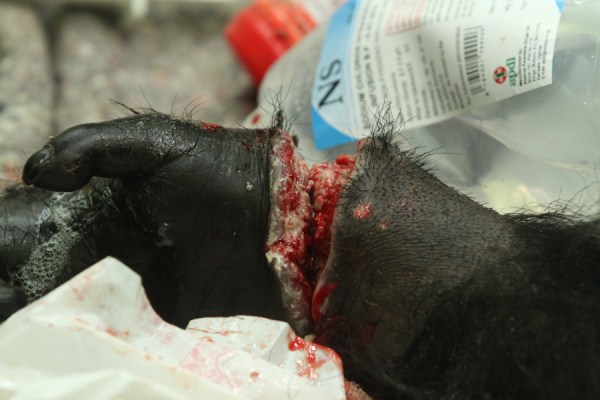 Specials snare injury Kibale Chimpanzee Project
