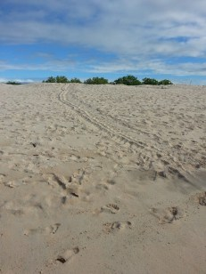 Sea turtle tracks from the sea to the nest