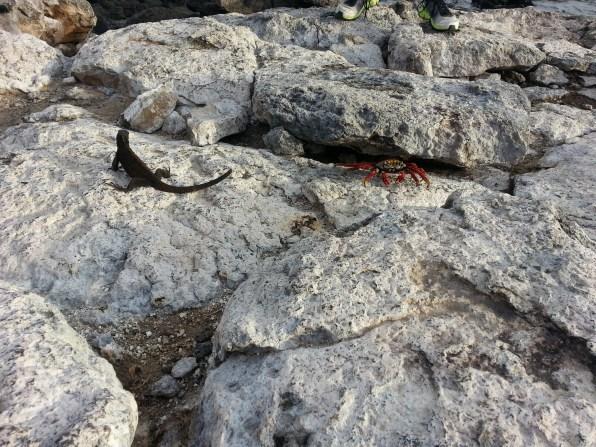 Marine Iguana & a Sally Lightfoot crab
