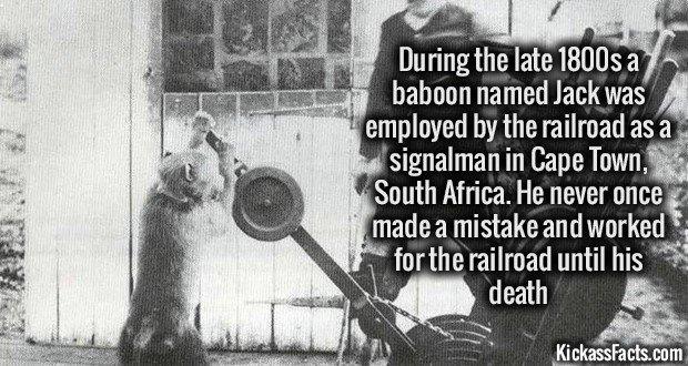 1098 Baboon Signalman