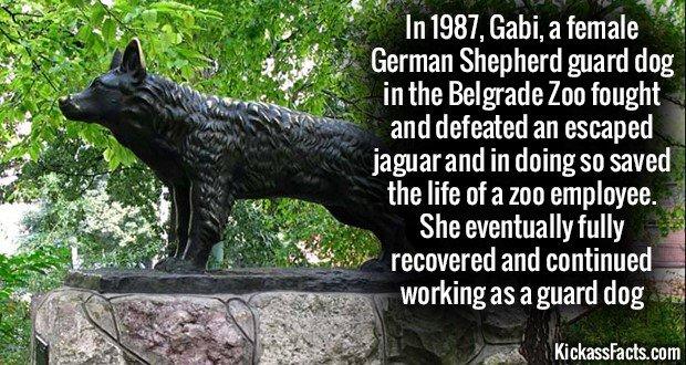 1180 Gabi German Shepherd