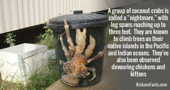 742Coconut crabs