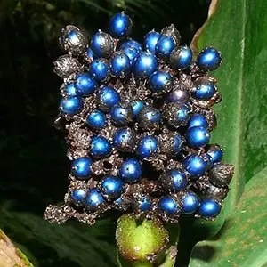 Pollia condensata- Interesting Facts About Fruits