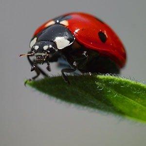 Ladybugs-Random Facts List