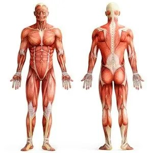 25 kickass and interesting facts about muscles | kickassfacts, Cephalic Vein