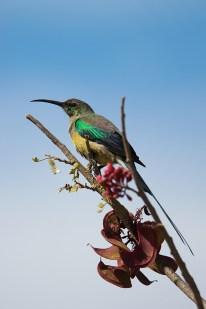 malachit sunbird