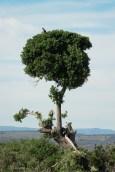 tree with jackal buzzard