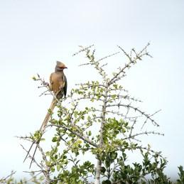 red-faced mousebird