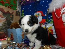 Frankenstein Black Tri Male two blue eyes Available
