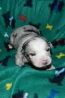 Sycamore Blue Merle