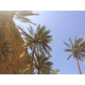 Not palm trees, but date trees!!