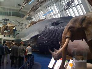 A blue whale and other animals at the Natural History Museum