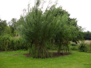 Living willow wigwams